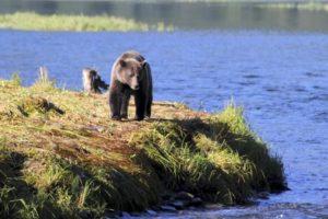 Bear walking beside a stream