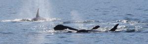 Orca whales San Juan islands